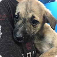 Adopt A Pet :: Doris pup tiny tan brindle - Pompton Lakes, NJ
