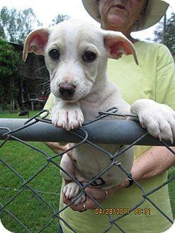 Labrador Retriever/Cairn Terrier Mix Puppy for adoption in Rutherfordton, North Carolina - RUMER