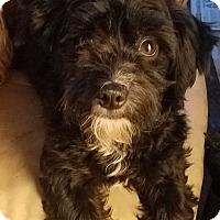 Adopt A Pet :: Piper - Detroit, MI