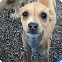 Chihuahua/Corgi Mix Puppy for adoption in Gilbert, Arizona - Tori (Puppy)