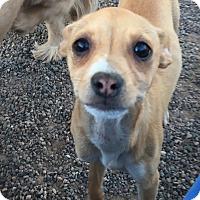 Adopt A Pet :: Tori (Puppy) - Gilbert, AZ