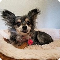 Adopt A Pet :: Baby Girl - Queenstown, MD