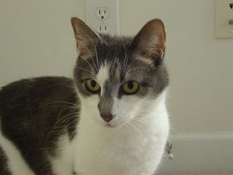 Domestic Shorthair/Domestic Shorthair Mix Cat for adoption in Culpeper, Virginia - Suki