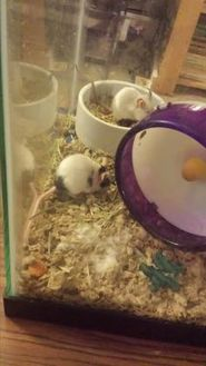 Mouse/Mouse Mix for adoption in Edmonton, Alberta - Squiggy