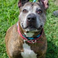 American Pit Bull Terrier Mix Dog for adoption in Philadelphia, Pennsylvania - Usain Bolt
