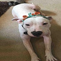American Bulldog Mix Dog for adoption in Tallahassee, Florida - PENELOPE