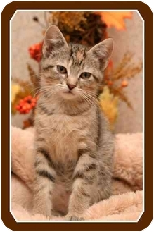 Domestic Shorthair Kitten for adoption in Sterling Heights, Michigan - Pearls - ADOPTED!