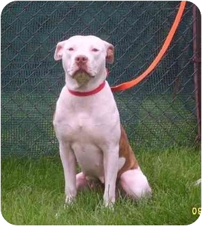American Staffordshire Terrier Dog for adoption in Austin, Minnesota - Persia