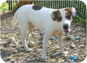 Jack Russell Terrier Mix Puppy for adoption in Cincinnati, Ohio - Macy
