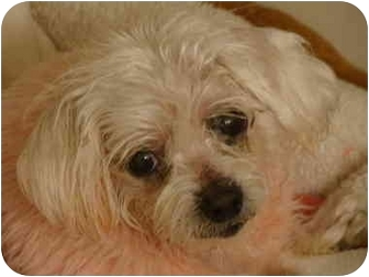 Maltese Dog for adoption in Statewide and National, Texas - Noelle