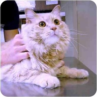 Domestic Longhair Cat for adoption in Washington, North Carolina - Tater