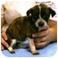 Photo 1 - Rat Terrier Mix Puppy for adoption in Seneca, South Carolina - LIL MISS