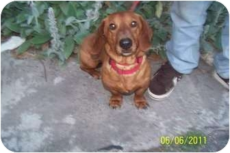Dachshund Dog for adoption in Conway, New Hampshire - Ringo