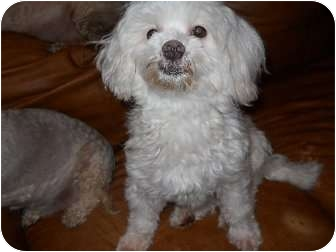 Maltese Dog for adoption in New Jersey, New Jersey - NJ - Larry