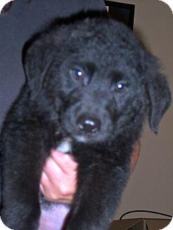 Labrador Retriever Mix Puppy for adoption in Largo, Florida - BAKER