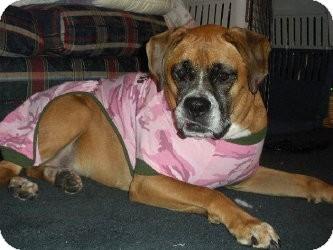Boxer Dog for adoption in Grafton, Massachusetts - Marla - The Love Bug
