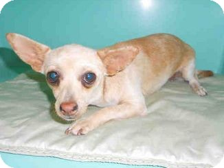Chihuahua Mix Dog for adoption in Yuba City, California - 9/18 Unnamed