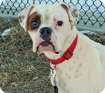 Boxer Mix Dog for adoption in Cheyenne, Wyoming - Petey