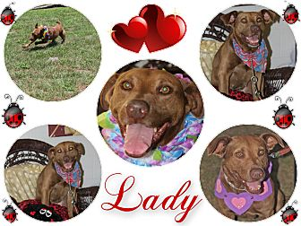 Labrador Retriever Mix Dog for adoption in Tampa, Florida - Lady