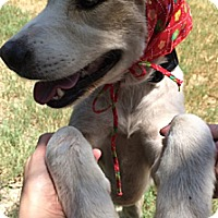 Adopt A Pet :: Star - McAllen, TX