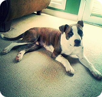 Boxer/Pit Bull Terrier Mix Puppy for adoption in CHAMPAIGN, Illinois - DEUCE