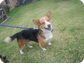 Corgi Dog for adoption in AMARILLO, Texas - Axel