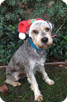 Schnauzer (Miniature) Mix Dog for adoption in Irvine, California - WINSTON