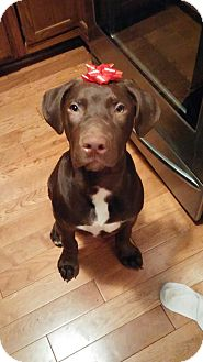 Labrador Retriever/Great Dane Mix Puppy for adoption in St. Charles, Illinois - Moose