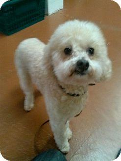Poodle (Miniature) Dog for adoption in Santa Rosa, California - Gapeto