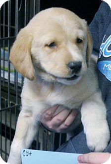 Golden Retriever Mix Puppy for adoption in Cooperstown, New York - Willis