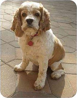 Cocker Spaniel Dog for adoption in Flushing, New York - Queenie