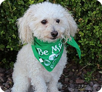 Toy Poodle Mix Dog for adoption in Las Vegas, Nevada - JOEY BUYACHECK