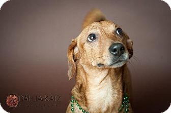 Dachshund/Jack Russell Terrier Mix Dog for adoption in Toronto, Ontario - Archie