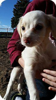 Terrier (Unknown Type, Small) Mix Puppy for adoption in Othello, Washington - Princess