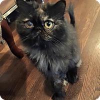 Adopt A Pet :: Bella - Beverly Hills, CA