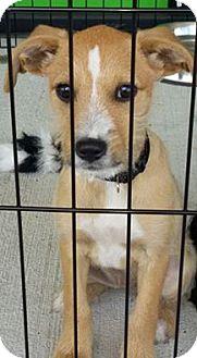 Terrier (Unknown Type, Medium) Mix Puppy for adoption in Shallotte, North Carolina - Mona