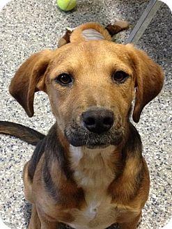 Beagle/Golden Retriever Mix Puppy for adoption in Smithtown, New York - Otis