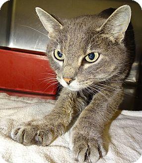 Domestic Shorthair Cat for adoption in Brooksville, Florida - SHEBA