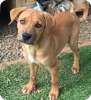 Beagle/Labrador Retriever Mix Puppy for adoption in Menifee, California - Elsa