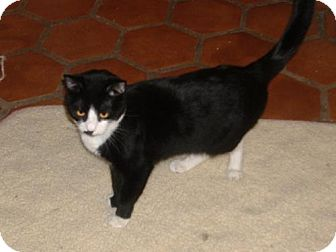 Domestic Mediumhair Cat for adoption in Phoenix, Arizona - Lizzie