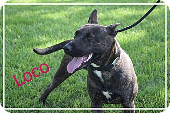 American Pit Bull Terrier Mix Dog for adoption in Beaumont, Texas - LOCO