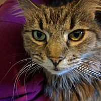 Adopt A Pet :: Lily - Walnut Creek, CA