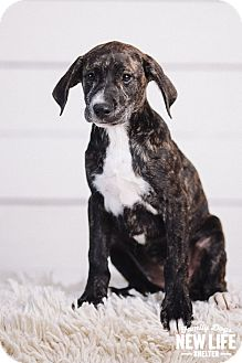 Labrador Retriever/Plott Hound Mix Puppy for adoption in Portland, Oregon - Tina