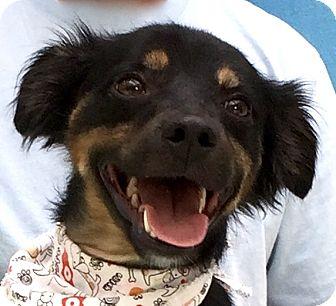 Shepherd (Unknown Type) Mix Dog for adoption in Evansville, Indiana - Rex