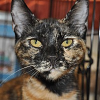 Adopt A Pet :: Olivia - La Canada Flintridge, CA