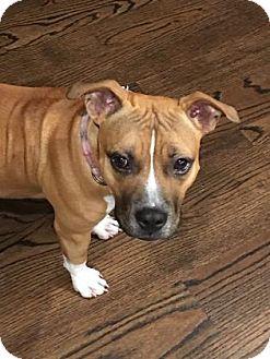 Boxer Mix Dog for adoption in Houston, Texas - Roxy