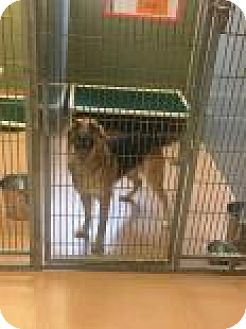 German Shepherd Dog Mix Dog for adoption in Columbus, Georgia - Ridley 4673