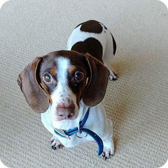 Beagle/Dachshund Mix Dog for adoption in Salem, Oregon - Marvel