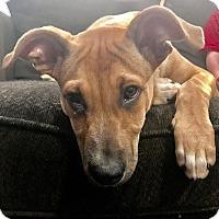 Adopt A Pet :: Dash - Broken Arrow, OK