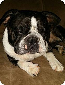 Boston Terrier/English Bulldog Mix Dog for adoption in Jackson, Tennessee - Benson